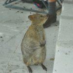 Photo - Quokka - Rottnest Island - 2003